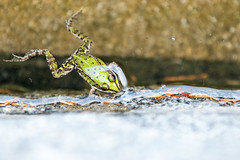 Frog in a pool (Arno M.D.C. Burg) Tags: frog frosch pool animal green grn tier