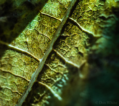 Leaf Macro (Don White (Burnaby) Thanks for the Three Million V) Tags: 42mm centralpark driedup extensiontube flowersplants leaf macro sigma30mmf28 bokeh