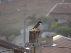DSC06478 Bem-Te-vi (familiapratta) Tags: sony dschx100v hx100v iso100 natureza pssaro pssaros aves nature bird birds montesio montesiomg brasil
