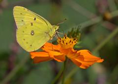 Orange Delight (KsCattails) Tags: butterfly coreopsis d7000 fall kscattails nikon orangesulphur sulphur insect nature flower blossom