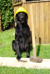 DSC_0888 (Flat Coated Retriever in Berlin) Tags: zeuthen 20011 clicker halten