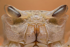 Aliens are between us... (Rinaldo R) Tags: ocypode ocypodeceratophtalmus crab ghostcrab macro closeup canonmpe mpe handheldstack focusstacking zerene kenya watamu beach