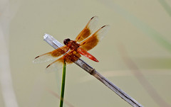 Flame Skimmer -- Male (Libellula saturata); Albuquerque, NM, Tingley Beach Park [Lou Feltz] (deserttoad) Tags: nature insect pond park dragonfly odonate skimmer newmexico