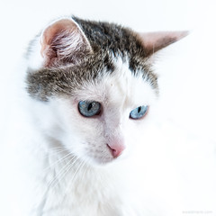 mister blue eyes (ewaldmario) Tags: andreas katze cat kitten animal mammal fur eyes ears blue white weiss blau ewaldmario nikon indoor highkey view cute misterblueeye narrowfocus bright square haustier soft boss friendly lovely zart