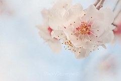 (stacey catherine) Tags: spring blossom flower flowers nature dreamy layers textures pastel white pretty