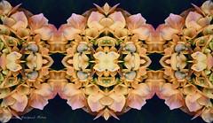 mandala floral (ojoadicto) Tags: abstract abstracto flores flowers digitalmanipulation manipulaciondefotos