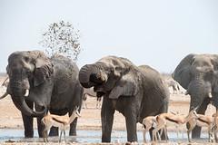 DSC_3506.JPG (manuel.schellenberg) Tags: namibia animal etosha nationalpark elephant springbock