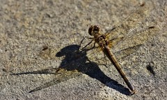 A dragonfly suns itself and casts a fine shadow (alcowp) Tags: park parc macro shadow insect wildlife nature dragonfly sceaux france