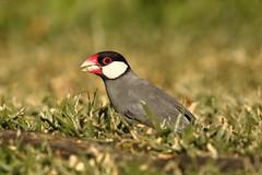 Java Sparrow / Java Finch (Lonchura oryzivora) (sp. # 97) (s_uddin59) Tags: javasparrow sparrow bird urbanbird uhmanoa uhm manoa sinclairlibrarylawn lonchuraoryzivora honolulu hawaii sinclaircircle bokeh birdonground javafinch javaricesparrow