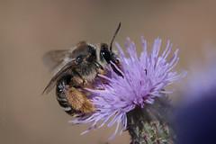 Honeybags (Luis-Gaspar) Tags: animal insecto insect abelha abelhaeuropeia bee honeybee westernhoneybee apismellifera hymenoptera apidae portugal oeiras pacodearcos nikon d60 18105 f56 11600 iso400
