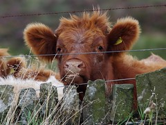 cattle longshaw estate (3) (Simon Dell Photography) Tags: cow calf cattle cute awsome longshaw estate derbyshire simon dell photography