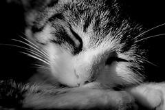 fast asleep (Z) Tags: chat cat cats tabby tigre mitzy black bw blanc blackandwhite white noir noirblanc nature katze kot kitty gato gatto sleepy asleep