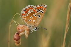 Aricia cramera (2) (JoseDelgar) Tags: josedelgar insecto mariposa ariciacramera 1001nights 1001nightsmagiccity thegalaxy coth ngc coth5 alittlebeauty fantasticnature contactgroups npc sunrays5