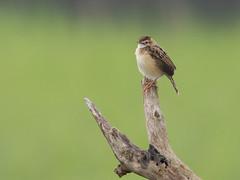 Zitting cisticola (amran89) Tags: birds wildlife zittingcisticola cisticolajuncidis westjava indonesia canon canon550d nikkor300mmf45ais