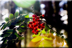 Autumn Sunshine And Rowan Berries (Boba Fett3) Tags: woods outdoors outside trees berries red sunlight lensflare autumn