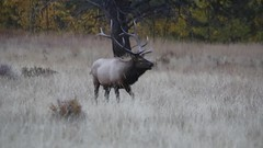 Elk Bugling (The Dark Side Observatory) Tags: elk rmnp rockymountainnationalpark tomwildoner nature rut antlers environment colorado co video bugle bugling bull mating mountains matingseason september 2016