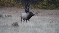 Elk Bugling (Tom Wildoner) Tags: elk rmnp rockymountainnationalpark tomwildoner nature rut antlers environment colorado co video bugle bugling bull mating mountains matingseason september 2016