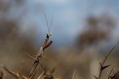 Rantide Religiosa / Praying Mantis (Toby's Pictures) Tags: rantide religiosa praying mantis nature adventure