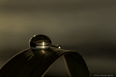 Let there be light... (ToveM) Tags: drop droplet gold golden macro sigma gangsvatnet norge norway sun reflection small world