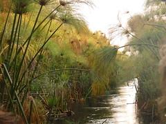 Ockavango Delta, Botswana - Sept 2016 (Keith.William.Rapley) Tags: ockavango ockavangodelta delta september2016 botswana rapley keithwilliamrapley papyrus water river