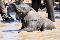 Bathtime fun. (pstone646) Tags: elephant nature wildlife animal baby water africa namibia closeup pachiderm
