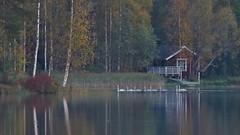 Autumn on a lake. (Sirke Vaarma) Tags: jrvi lake water vesi autumn syksy kilpijrvi cottage kesmkki joutsen laulujoutsen joutsenperhe swan cygnus