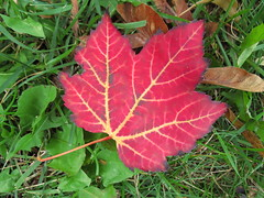 IMG_4049 red maple leaf (jgagnon63@yahoo.com) Tags: fallcolor autumn october fall maples mapleleaf maple escanaba deltacountymi red leaf foliage