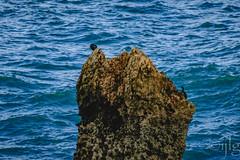18092016DSC_1177.jpg (Ignacio Javier ( Nacho)) Tags: flickr facebook cormoranes aves phalacrocoracidae pginafotografia faunayflora santander cantabria espaa es