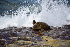 116 pictures in 2016 - #110 Something that makes you smile (~Patti~) Tags: turtle seaturtle green ocean