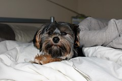 Flo in Bed (@oakhamuk) Tags: flo yorkiepoo dog martinbrookes