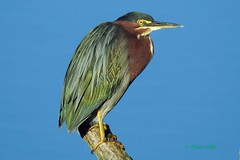 DSCN0210 green heron (starc283) Tags: starc283 heron greenheron bird birding nature wildlife naturesfinest