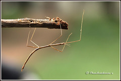 6449 - stick insect (chandrasekaran a) Tags: stickinsect insects nature india chennai canon60d macro tamron90mm