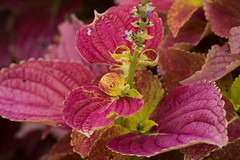 Crimson and Purple (nak.viognier) Tags: ryokuchipark osaka  olympusepl3 mzuikodigitaled60mmf28macro