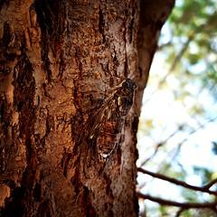 The cicada without the ant...  La cigale sans la fourmis...  #Greece #Grece #Salamina #Cigale #Cicada #Beach #Plage #Mer #Sea #Arbre #Tree #GalaxyS6 #StudioOCOMA (studioocoma) Tags: plage mer studioocoma tree cigale salamina beach greece galaxys6 arbre cicada grece sea
