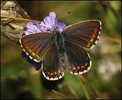 Female Adonis Blue on Field Scabious - Open Wings (glostopcat) Tags: adonisbluebutterfly insect invertebrate butterfly wildflower fieldscabious nationaltrust stroud summer swelshillbank