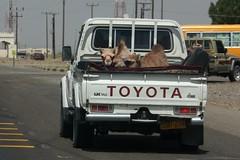 Camel travel (RadioKate) Tags: oman oman2016 travel travelogue camel wow animals transport