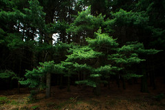 Pines (_ Nemo _) Tags: pines pine forest foresta