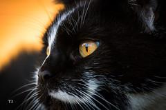 Timis eyes (andreasmally) Tags: cats katzenaugen katzen haustier pets cute