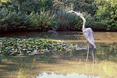 DSC08032 copy (josierustle) Tags: worcester worcestershire pond park woods water statue stork