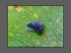 Butterflies-Thailand (Douglas Dew butterflies) Tags: pointed line blue ionolyce helicon