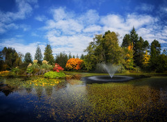 Autumn Colour is Beginning at VanDusen Gardens (Martin Smith - Having the Time of my Life) Tags: vandusenbotanicalgarden vandusengarden vancouver nikond7000 autumn martinsmith martinsmith nikcolorefex livingstonlake waterlillies japanesemaple reflections 5shotpano pano panorama