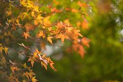 Colors of October (moaan) Tags: ernestleitzwetzlarsummarexf85cm kobe hyogo japan jp autumn autumnleaves autumncolors autumnaltints momiji japanesemaple bokeh dof leica mp leicamp type240 summarex 85mm f15 leicasummarex85mmf15 utata 2016