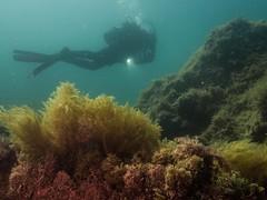 PA070563.jpg (Michael Bartosek) Tags: olympusepl3 catalinaisland olympus1442mm underwater catalina diving california pacificocean