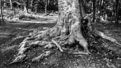 B&W (Delfinibi) Tags: bw hungary magyarorszg mzuiko ungarn zuiko outdoor pilis erd epl5 forest olympusepl5 olympus olympusm1442mmf3556iir okt kktra gykr root 100v10f