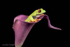 Red Eyed Tree Frog (Linda Martin Photography) Tags: agalychniscallidryas dorset frog redeyedtreefrog wildlife frogworkshop uk nature coth ngc npc coth5