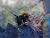 Tree Bumblebee 2