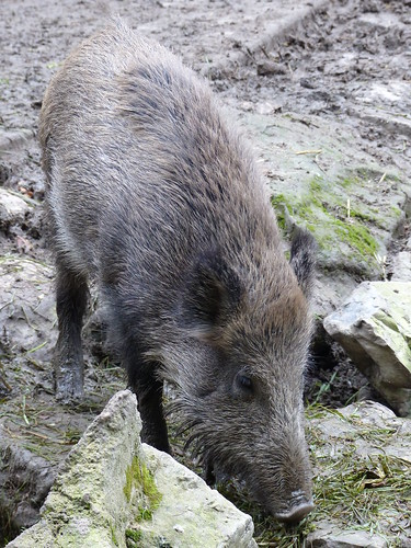 Europäisches Wildschwein