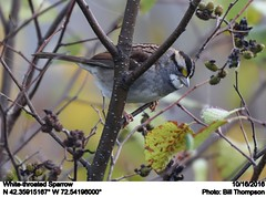 White-throated Sparrow (Bill.Thompson) Tags: whitethroatedsparrow zonotrichiaalbicollis ma birds