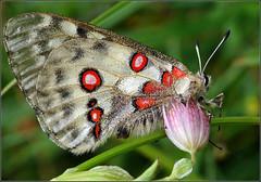 Parnassius apollo (Everest Daniel) Tags: parnassius apollo butterfly red mountains black white