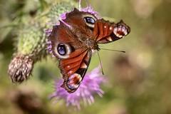 butterfly (Bea Antoni) Tags: macrodreams nahaufnahme closeup canon tamron makro macro insekt insect schmetterling butterfly